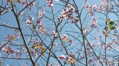 4K : Cherry blossom with blue sky, Spin shot Stock Footage