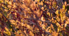 Autumn Leaves Close Blueberries Focus in out 4K Stock Footage