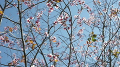 Cherry blossom with blue sky Stock Footage