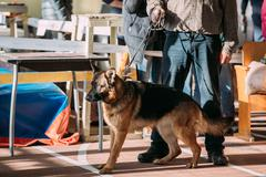 Man and Alsatian Wolf Dog in dog show Stock Photos