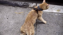 Orange tabby cat with harness on leash trying to run away under car in street Stock Footage