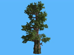 Western Juniper Bright Green Branches in Sunny Day Coniferous Evergreen Tree is Stock Footage