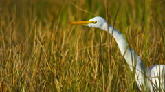 Great White Egret in Florida marsh - stock footage