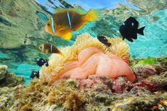 Sea anemone with fish anemonefish Pacific ocean Stock Photos