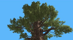 Western Juniper Top of Branchy Tree Coniferous Evergreen Tree is Swaying at the Stock Footage