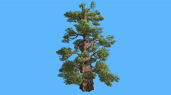Western Juniper Cone-Shaped Trunk Coniferous Evergreen Tree is Swaying at the Stock Footage
