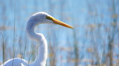 Great White Egret hunting fish - stock footage
