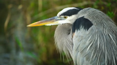 Great Blue Heron hunting position - stock footage