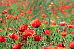 Poppies flower meadow landscape spring season Stock Photos