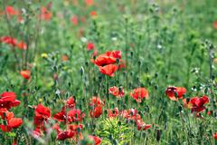 Poppies flower field spring season Stock Photos