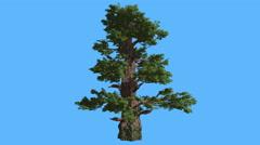 Western Juniper Tall Tree Sun Rays Shadows Coniferous Evergreen Tree is Swaying Stock Footage