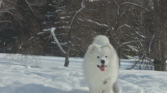 Beautiful white nordic dog running in the snow in park, samoyed Stock Footage