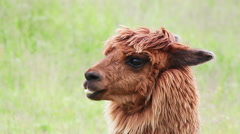 Portrait alpaca Stock Footage