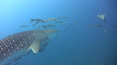 Whaleshark (Rhincodon typus) with snorkeler - stock footage