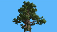 Western Juniper Tall Old Tree Sun Rays Coniferous Evergreen Tree is Swaying at Stock Footage