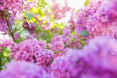 Blooming tree branches with violet lilac flowers . Springtime. S - stock photo
