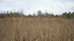 bulrush on background forest - stock footage