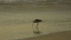 Bird finding food at shore Stock Footage