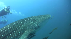 Whaleshark (Rhincodon typus) with divers Stock Footage