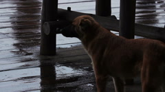 Taking care of homeless animals. Stray dog looking for a friend in the rain Stock Footage