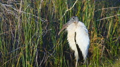 Wood Stork in Florida swamp - stock footage