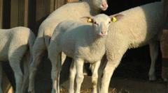 Little sheeps Stock Footage