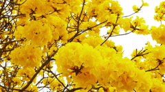 Yellow tabebuia flower blossom Stock Footage