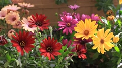 Colorful flowerbed. Solitary African Daisy flowers at the garden Stock Footage