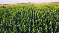 Aero view of the corn field in sunset - stock footage