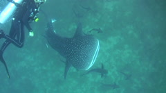 Whaleshark (Rhincodon typus) from above Stock Footage