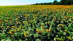 Aerial view of the sunflower field sunny day Stock Footage