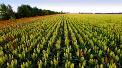 Aerial view of the sorghum field in sunset Stock Footage
