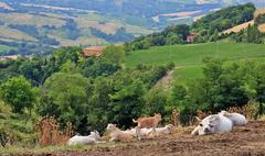 Herd of cows on the background of the hilly landscape in Tuscany - stock photo