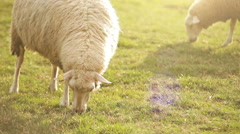Sheep feeding moment. Hungry animals eats green grass. - stock footage