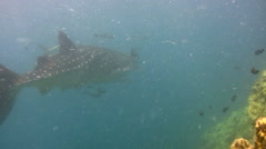 Whaleshark (Rhincodon typus) swimming close to reef Stock Footage