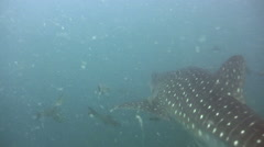 Whaleshark (Rhincodon typus) swimming from behind Stock Footage