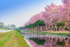 Tabebuia rosea is a Pink Flower neotropical tree. common name Pink trumpet tr - stock photo