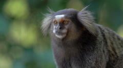 Close Up of Sagui Monkey Looking Around and Jumping Out of Scene - Zoom In Stock Footage