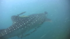 Whaleshark (Rhincodon typus) swimming from behind - stock footage