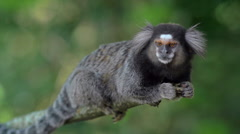 Close Up of Sagui Monkey in the Wild, Sitting on Tree Branch and Looking Around Stock Footage