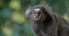Close Up of Sagui Monkey in the Wild, Looking Around and Jumping Out of Scene Stock Footage