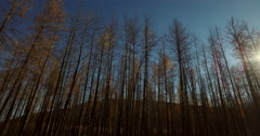 Stark Autumn Birch Trees and Sun Flare Lateral Low Aerial 4K Stock Footage