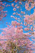 Tabebuia rosea is a Pink Flower neotropical tree Stock Photos