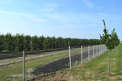 Young apple orchard - stock photo