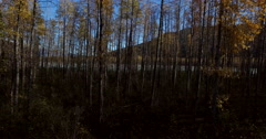 Fall Birch Forest Pullback to Trunks Leaves and Sun Flare 4K Stock Footage