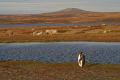 King Penguin on a Sheep Farm Stock Photos