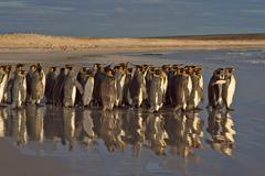 Group of King Penguins Stock Photos