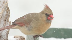 Female Northern Cardinal (cardinalis cardinalis) in snow Stock Footage