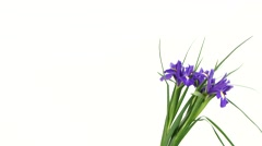 Iris flowers on white, rotation Stock Footage