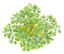 top view of potted lemon tree isolated on white background - stock illustration